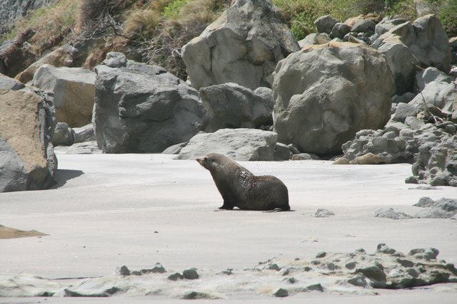 seal at fossil beach